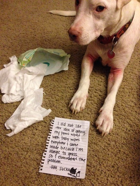 guilty dog - Dog - I did not ite the dea of geting ny Paws wiped wth baby wipes tveryhme I came made because m alergic to grass So ehminatedthe protem. HAI SUCKA MMM