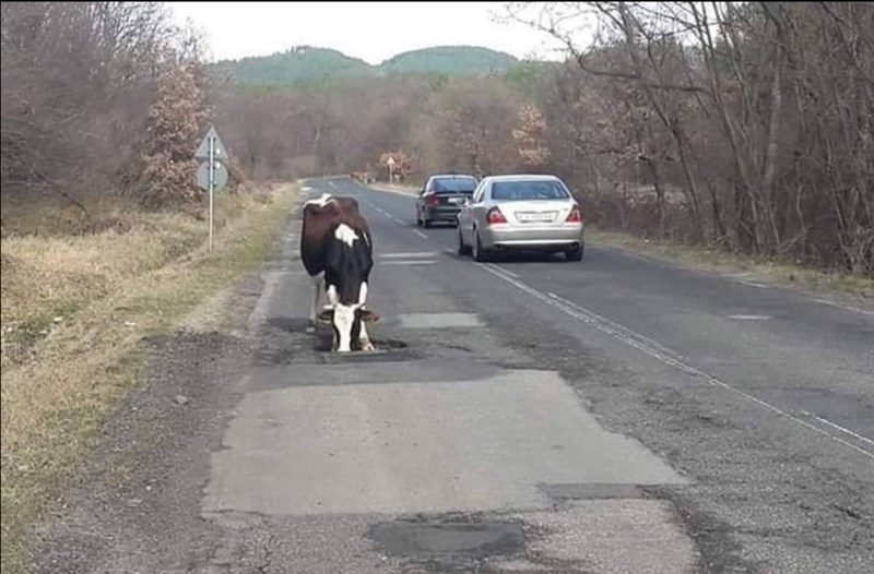 a cow drinks from a puddle in the middle of a busy road