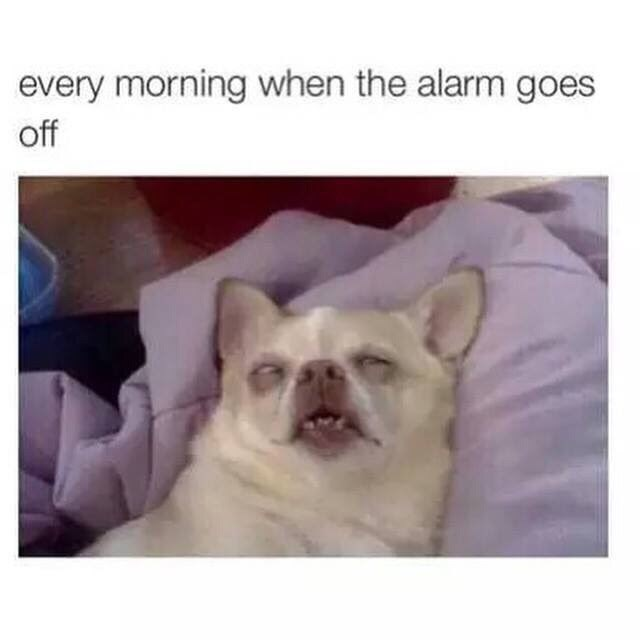 Meme - French bulldog - every morning when the alarm goes off