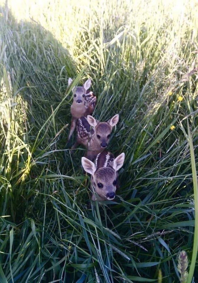 animal baby fawns in grass