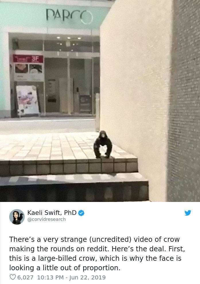 Property - PARCO 3F Kaeli Swift, PhD @corvidresearch There's a very strange (uncredited) video of crow making the rounds on reddit. Here's the deal. First, this is a large-billed crow, which is why the face is looking a little out of proportion 6,027 10:13 PM Jun 22, 2019