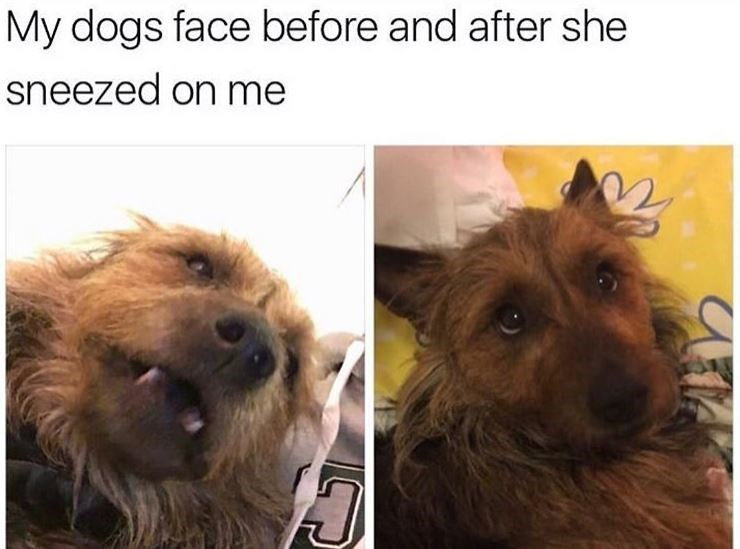 Dog meme Vertebrate - My dogs face before and after she sneezed on me