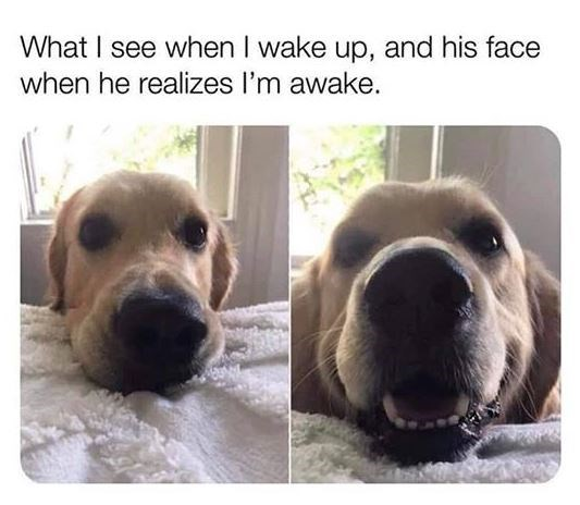 Dog meme - What I see when I wake up, and his face when he realizes I'm awake.
