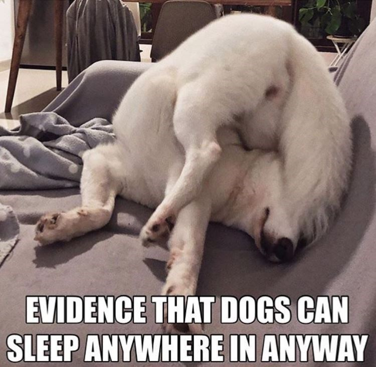 Canidae - EVIDENCE THAT DOGS CAN SLEEP ANYWHERE IN ANYWAY