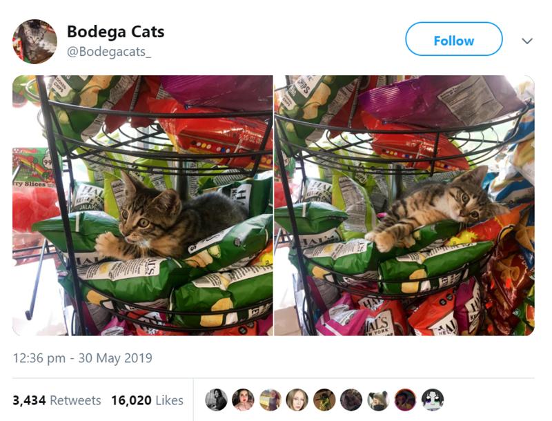 cat in store - Fictional character - Bodega Cats @Bodegacats_ Follow CHIAy 9 HA Fry Slices h HA JALAP KE JALAP AL HA HAL'S YORK 12:36 pm - 30 May 2019 3,434 Retweets 16,020 Likes S >