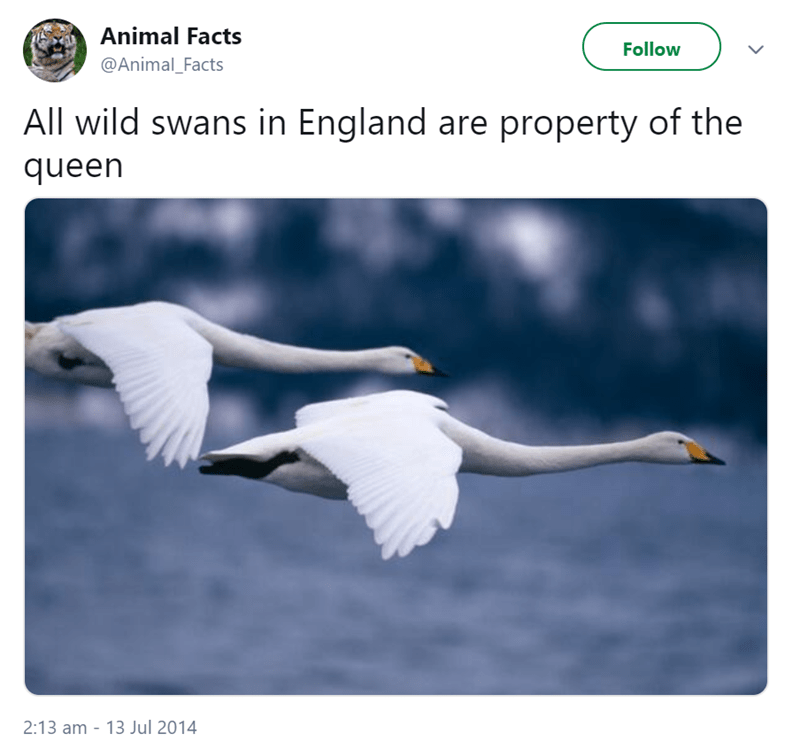 Bird - Animal Facts Follow @Animal_Facts All wild swans in England are property of the queen 2:13 am 13 Jul 2014 -