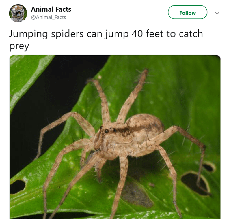 Spider - Animal Facts Follow @Animal_Facts Jumping spiders can jump 40 feet to catch prey
