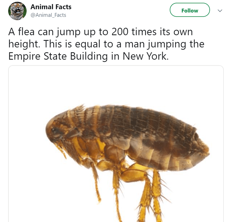Insect - Animal Facts Follow @Animal_Facts A flea can jump up to 200 times its own height. This is equal to a man jumping the Empire State Building in New York.