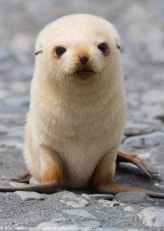 cute baby seal Vertebrate - ORon Niebrugge/ www.WildNatureimages.com