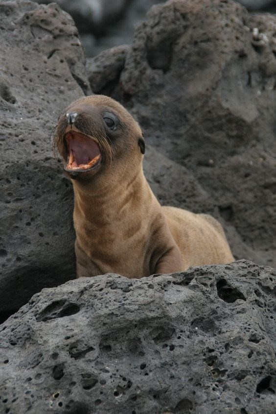cute baby seal - yelping out for helps