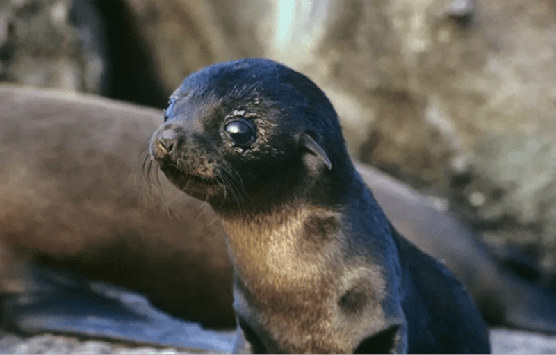 cute baby seal with big round eyes gazing