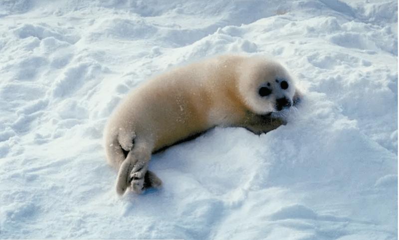 cute baby seal - Seal