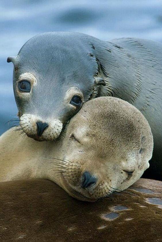 seals cuddling