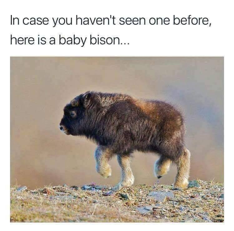 Meme - Mammal - In case you haven't seen one before, here is a baby bison...