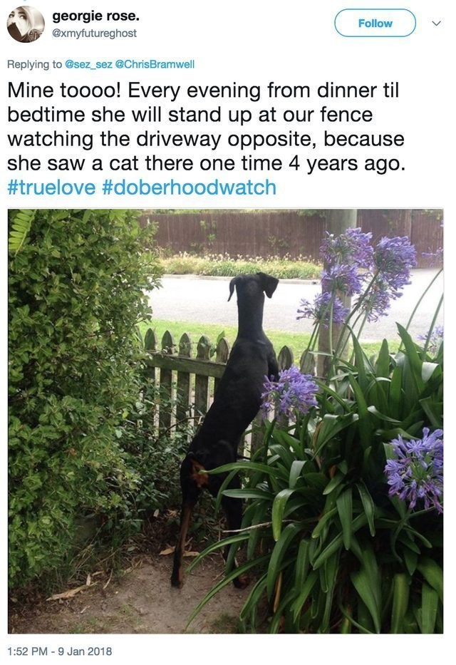 funny dog - Canidae - georgie rose. Follow @xmyfutureghost Replying to @sez sez @ChrisBramwell Mine toooo! Every evening from dinner til bedtime she will stand up at our fence watching the driveway opposite, because she saw a cat there one time 4 years ago. #truelove #doberhoodwatch 1:52 PM-9 Jan 2018