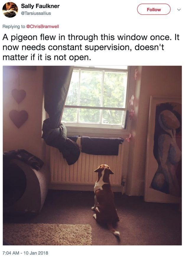 funny dog - Text - Sally Faulkner Follow @Tarsiussallius Replying to @ChrisBramwell A pigeon flew in through this window once. It now needs constant supervision, doesn't matter if it is not open. 7:04 AM-10 Jan 2018