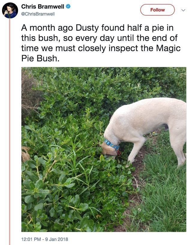 funny dog - Canidae - Chris Bramwell Follow @ChrisBramwell A month ago Dusty found half a pie in this bush, so every day until the end of time we must closely inspect the Magic Pie Bush. 12:01 PM 9 Jan 2018