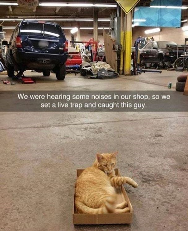 Cat - CLEAR We were hearing some noises in our shop, so we set a live trap and caught this guy