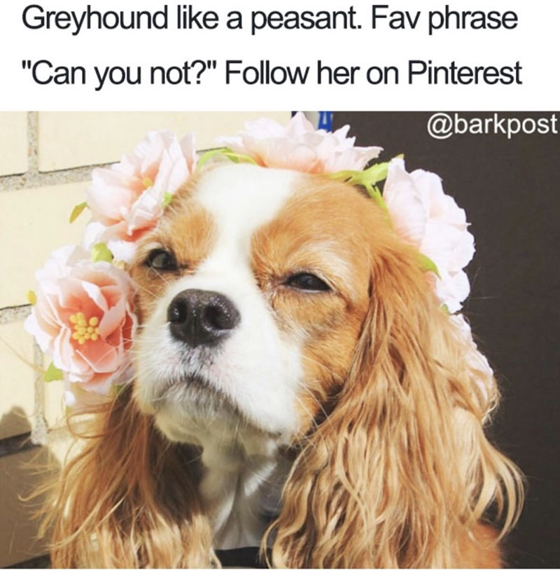 """Dog - Greyhound like a peasant. Fav phrase """"Can you not?"""" Follow her on Pinterest @barkpost"""