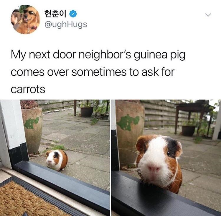 Canidae - 현춘이 @ughHugs My next door neighbor's guinea pig comes over sometimes to ask for carrots