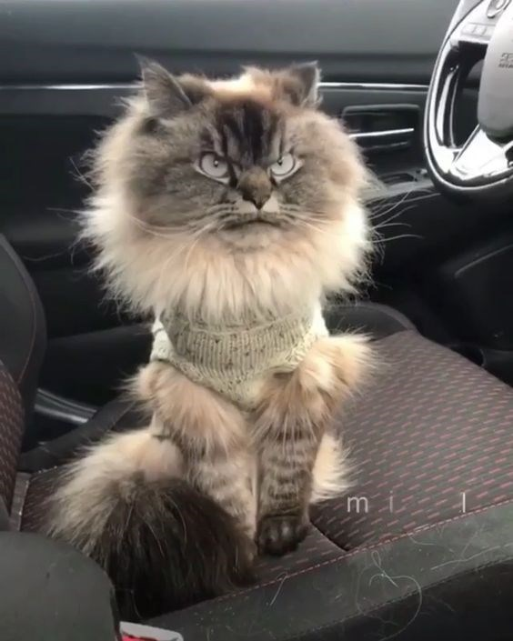 Cat - mi