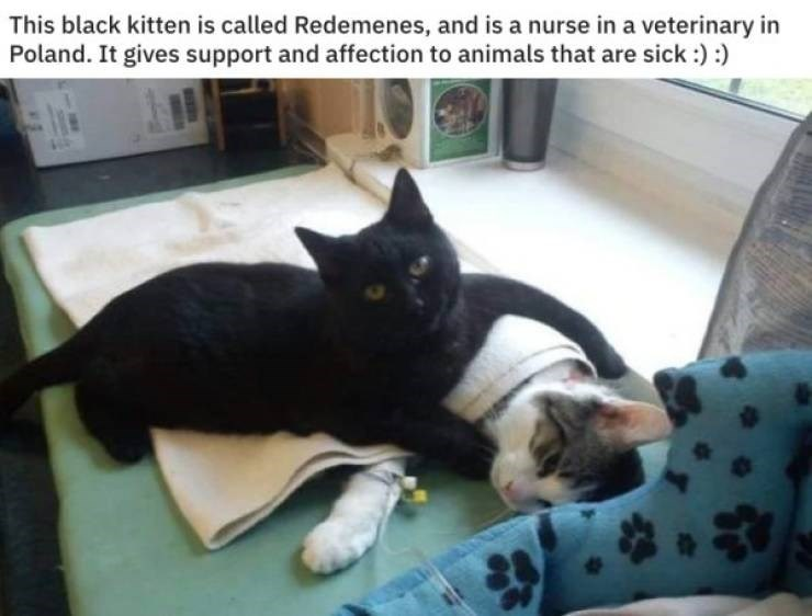 cat job - Cat - This black kitten is called Redemenes, and is a nurse in a veterinary in Poland. It gives support and affection to animals that are sick:):)