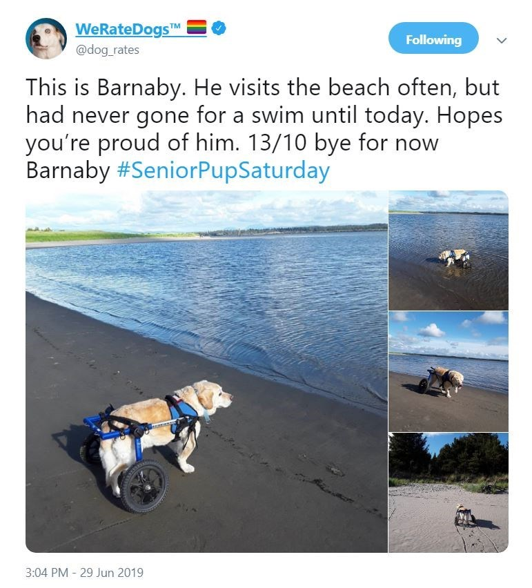 senior dog - Adaptation - WeRateDogsM Following @dog_rates This is Barnaby. He visits the beach often, but had never gone for a swim until today. Hopes you're proud of him. 13/10 bye for now Barnaby #SeniorPupSaturday 3:04 PM 29 Jun 2019