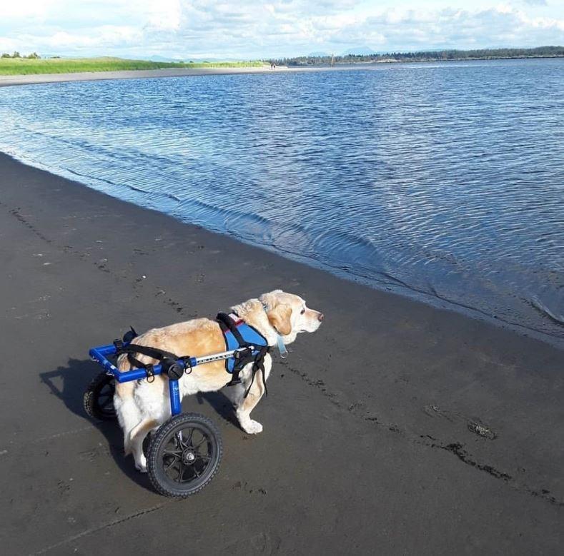 senior dog at the beach