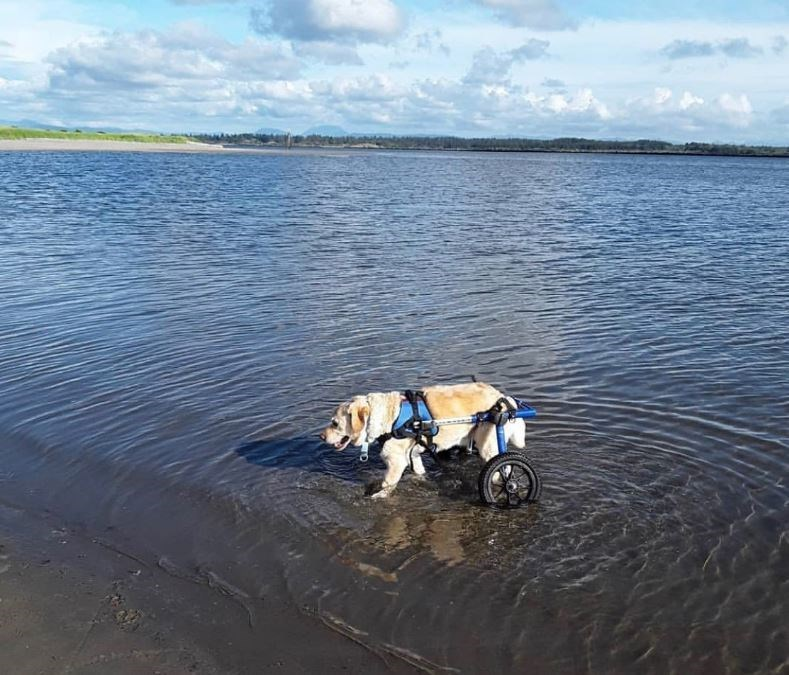 senior dog goes into the Water