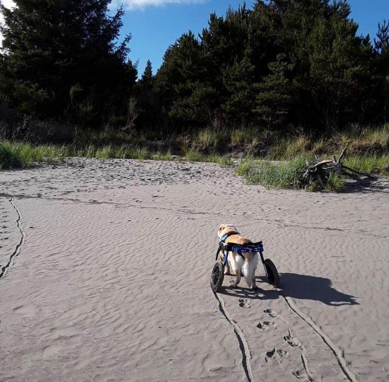 senior dog on the sand of the beach