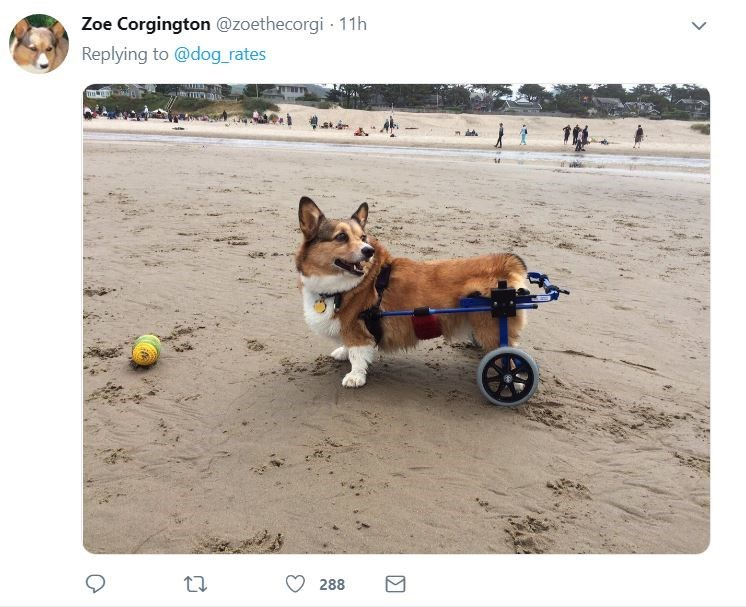 senior dog - Dog - Zoe Corgington @zoethecorgi 11h Replying to @dog_rates 288
