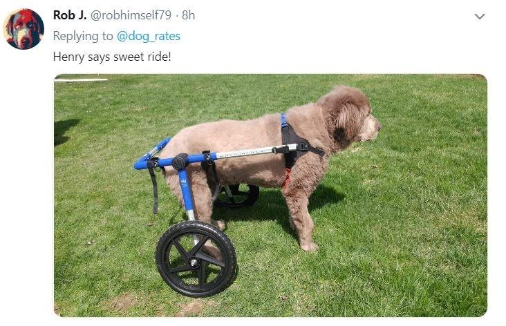 senior dog - Dog - Rob J. @robhimself79 8h Replying to @dog_rates Henry says sweet ride!