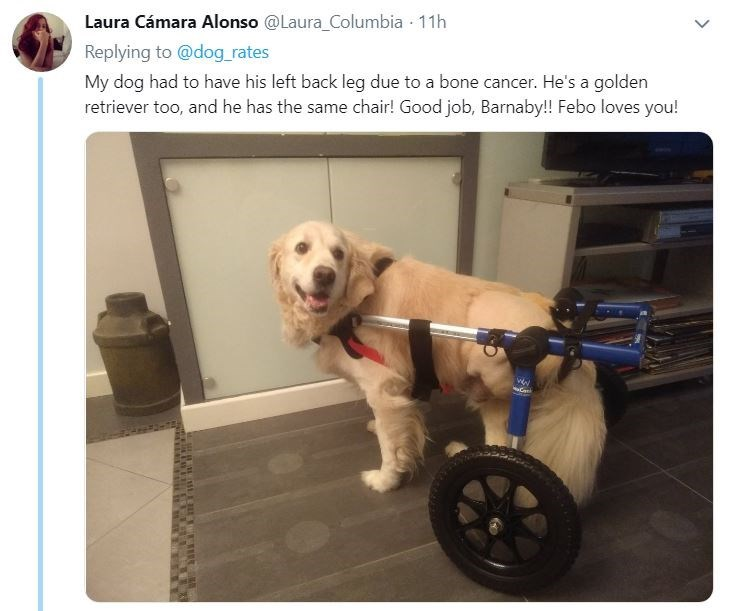 senior dog - Product - Laura Cámara Alonso @Laura_Columbia 11h Replying to @dog rates My dog had to have his left back leg due to a bone cancer. He's a golden retriever too, and he has the same chair! Good job, Barnaby!! Febo loves you!