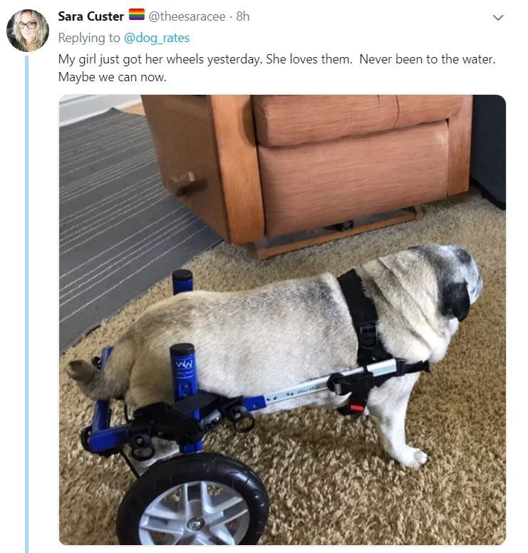 senior dog - Product - @theesaracee 8h Sara Custer Replying to @dog_rates My girl just got her wheels yesterday. She loves them. Never been to the water. Maybe we can now.