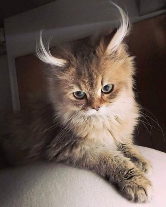 Cat with fluffy ears