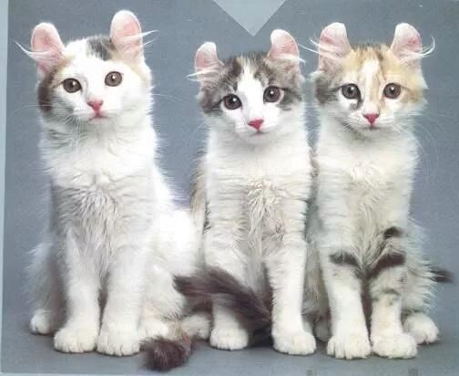 Cats with awesome ears