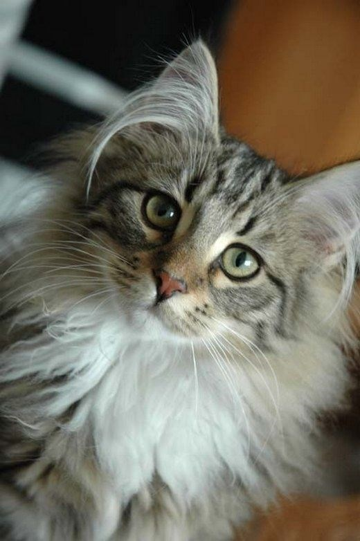 Cat ear hair
