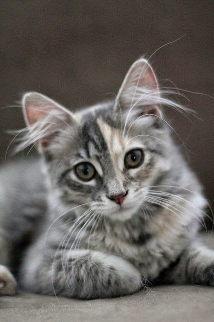 Cat with hairy ears
