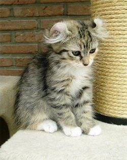 Cat ear fluff