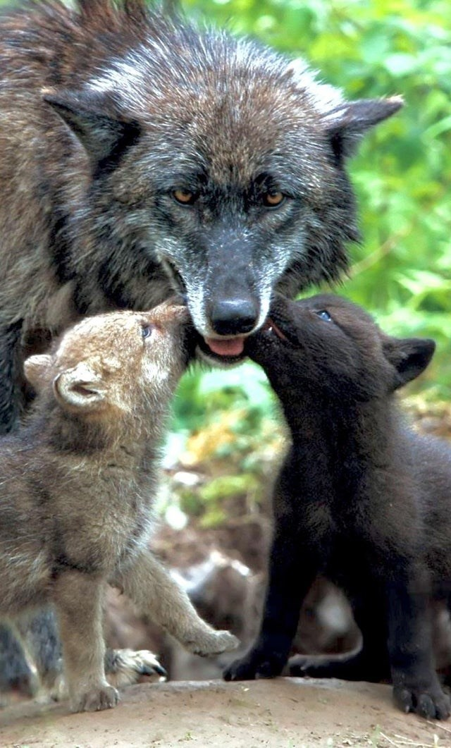 mamma wolf with pups licking her mouth