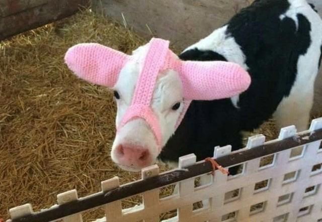cow calf wearing ear muffs to keep ears warm