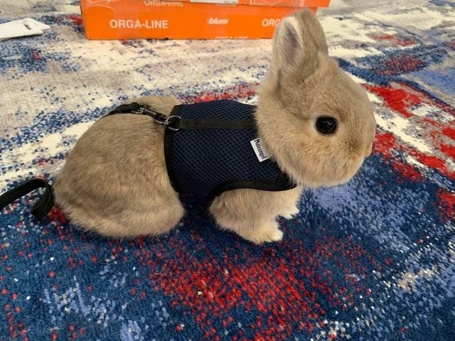 Domestic rabbit - ONGAN blum ORGA-LINE ORG Nteane