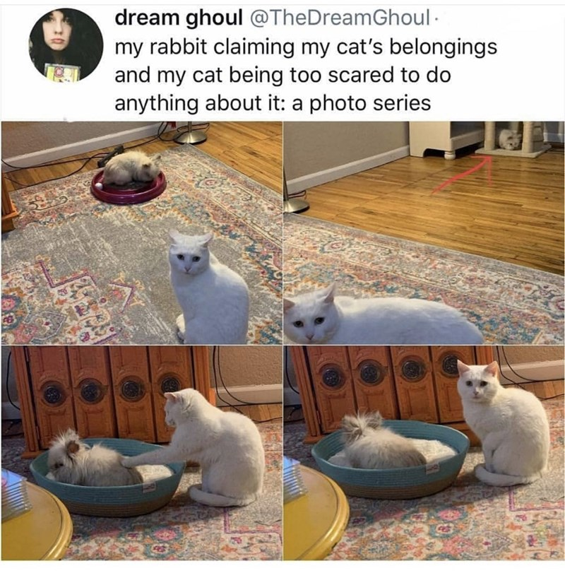 meme - Cat - dream ghoul @TheDreamGhoul my rabbit claiming my cat's belongings and my cat being too scared to do anything about it: a photo series
