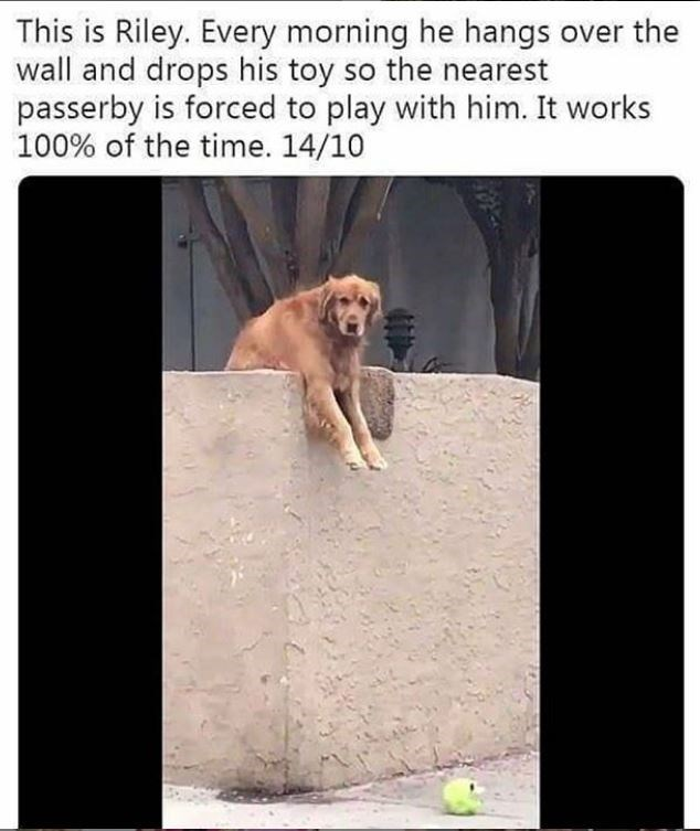 dog meme - Canidae - This is Riley. Every morning he hangs over the wall and drops his toy so the nearest passerby is forced to play with him. It works 100% of the time. 14/10