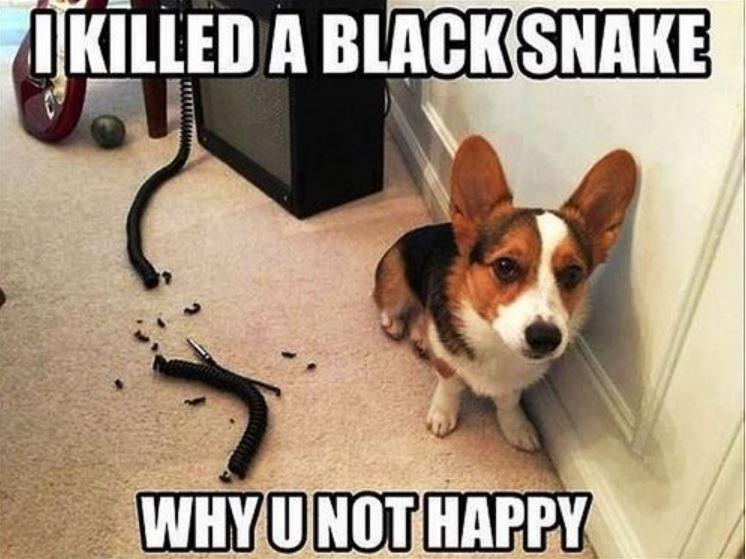 dog meme - Dog - IKILLED A BLACKSNAKE WHYUNOT HAPPY