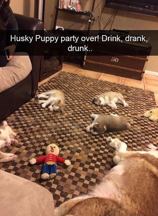 dog meme - Floor - Husky Puppy party over! Drink, drank drunk.. 50