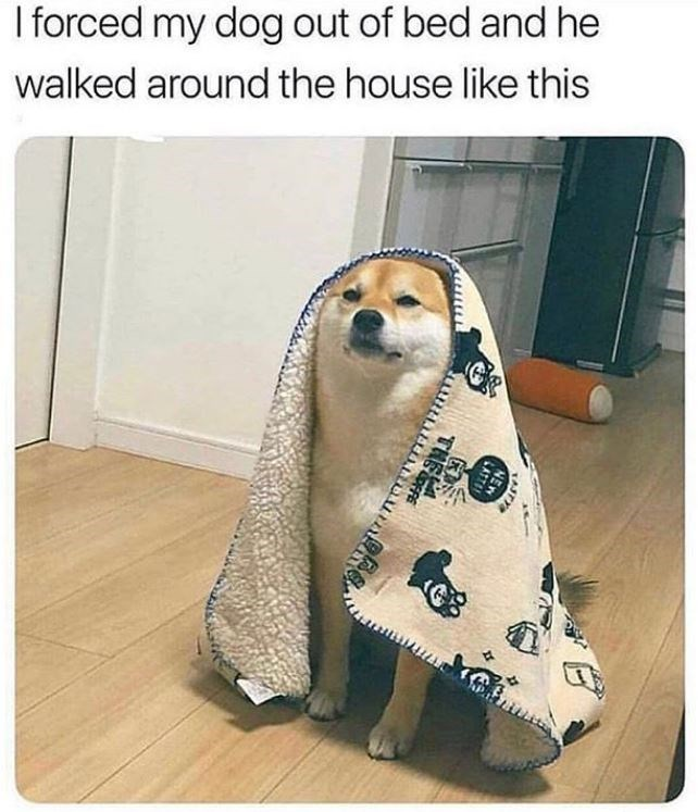 dog meme - Canidae - I forced my dog out of bed and he walked around the house like this TANY NEN LATTE THEF