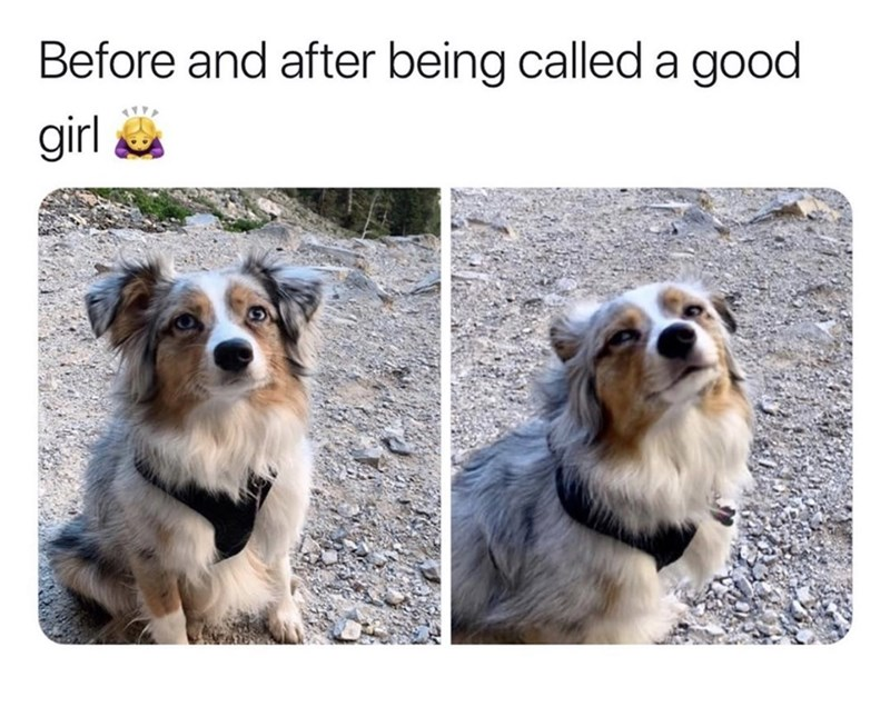 dog meme - Dog - Before and after being called a good girl