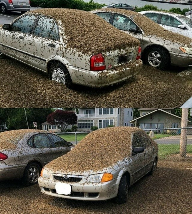 car covered in mayflies