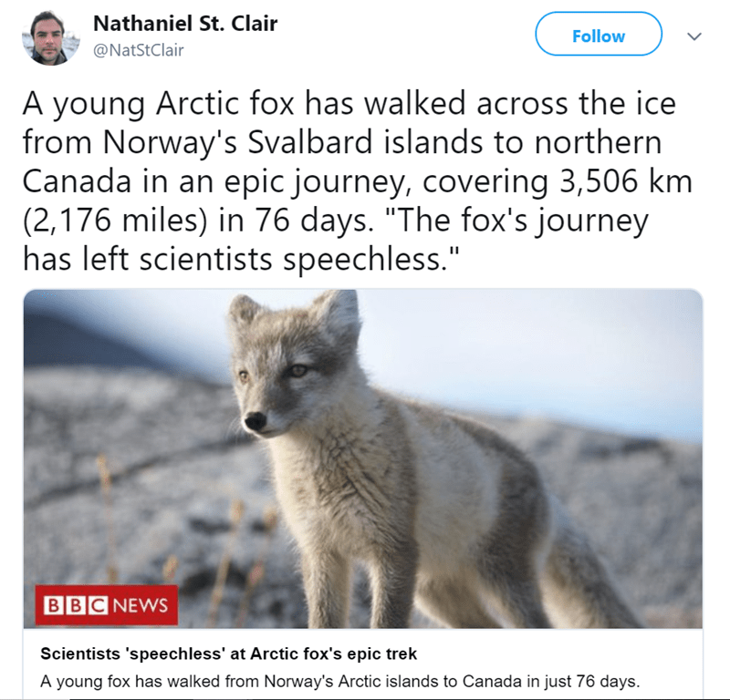 """arctic fox - Nathaniel St. Clair Follow @NatStClair A young Arctic fox has walked across the ice from Norway's Svalbard islands to northern Canada in an epic journey, covering 3,506 km (2,176 miles) in 76 days. """"The fox's journey has left scientists speechless."""" BBC NEWS Scientists 'speechless' at Arctic fox's epic trek A young fox has walked from Norway's Arctic islands to Canada in just 76 days"""